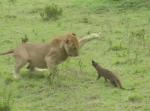 マングース vs. ライオン