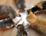 存在しないマグロに群がる6匹の猫