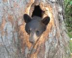 顔が抜けなくなった熊の救出、リアルくまのプーさん!?