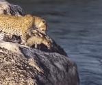 ヒョウの赤ちゃん、命がけの大ジャンプ