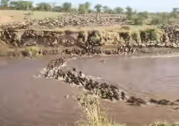 川を渡るヌーの大群のタイムラプス映像