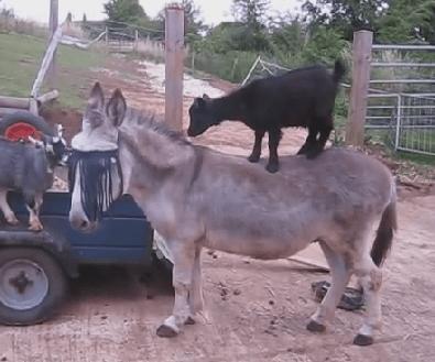 やんちゃなヤギの子供にタジタジ気味なロバ