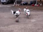 サッカーをプレーする七面鳥