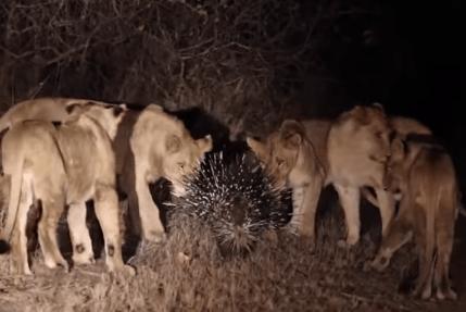 ライオンの群れ vs. ヤマアラシ