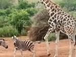 キリン vs. シマウマ