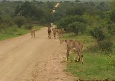 仲間と逸れてしまった雌ライオン、3日ぶりに群れと再会