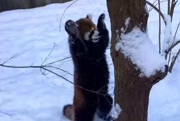 レッサーパンダ 雪