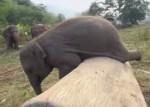 不器用な象の赤ちゃん