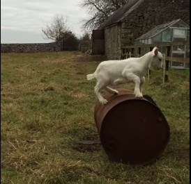 ヤギのドラム缶乗り