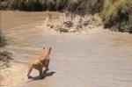水を飲んでいたシマウマをライオンが襲撃