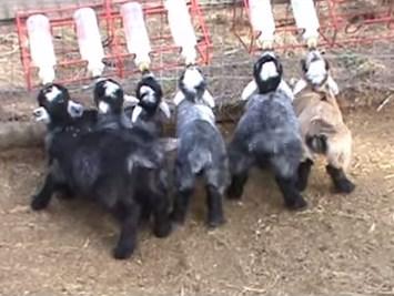 ミルクを飲むヤギの子供たち