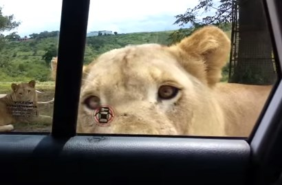 サファリパークでライオンが車のドアを開けあわや大惨事に