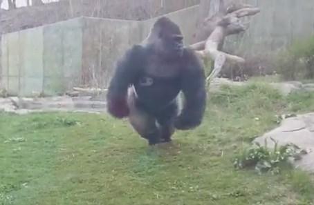 動物園のゴリラが凄い勢いで突進してきた!