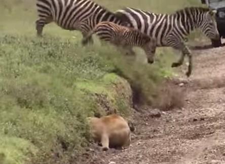 ライオン 狩 ヌー シマウマ