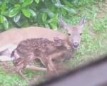 裏庭で鹿が2頭の赤ちゃんを出産、部屋からこっそり撮影