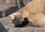 ホッキョクグマの赤ちゃんが突然カラスを襲う