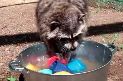 食器を洗うアライグマの映像