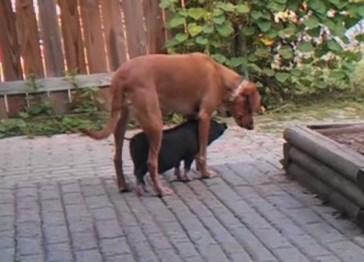 ワンコを屋根代わりにする子豚