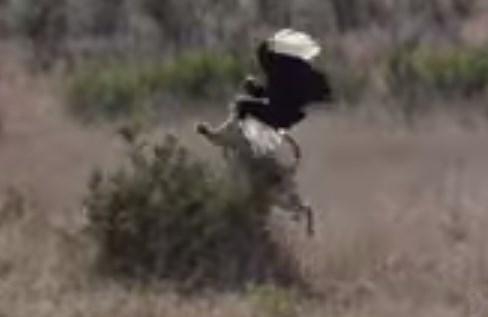 ヒョウが鳥(ジサイチョウ)をジャンピングキャッチ