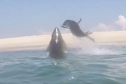 アザラシがホホジロザメのアタックを回避する瞬間映像