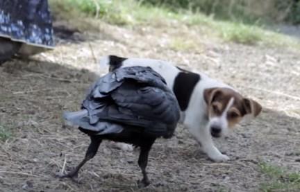 子犬 vs. カラス