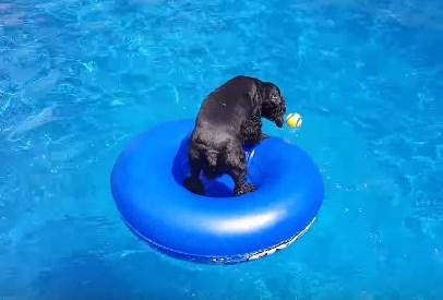 プールに浮かぶボールを手に入れたいワンコ
