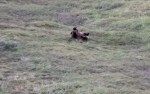ゴロンゴロンと転がりながら丘を下るクマの映像