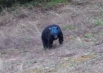 カナダで顔が真っ青なクマが発見される