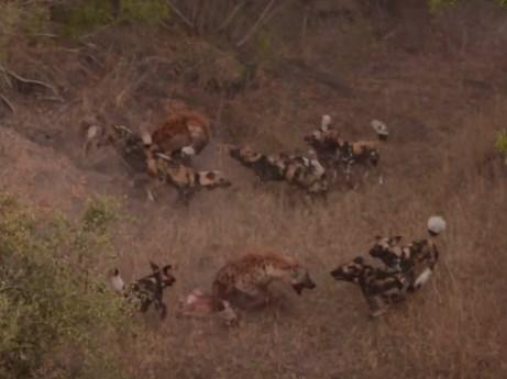 2頭のハイエナ vs. 10頭のリカオン
