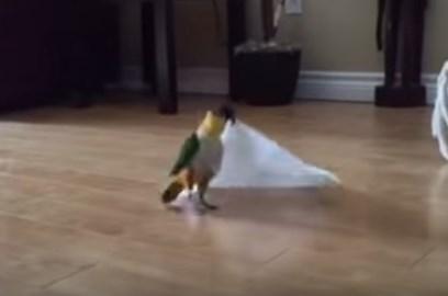 嬉しそうにペーパータオルを折りたたむ鳥