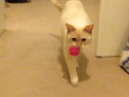 ボールを拾った猫、何故か倒れ込む
