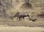 ワニが取り逃がしたウォーターバックをライオンが奪う