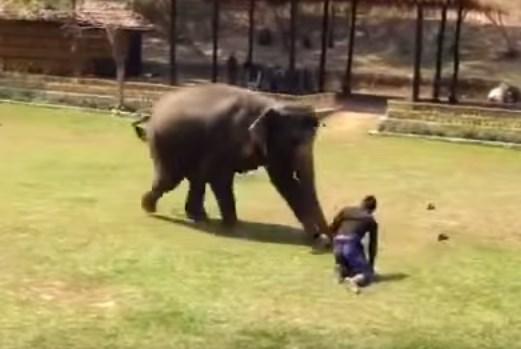 男がピンチ、するとゾウが助けに来てくれた!
