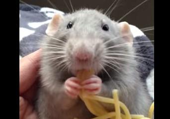 スパゲッティをむしゃむしゃ食べるネズミ