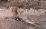 危機一髪、捕食動物から運良く逃げ切れた映像集