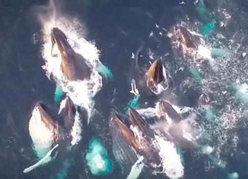 魚の大群に襲いかかるザトウクジラをドローンで撮影
