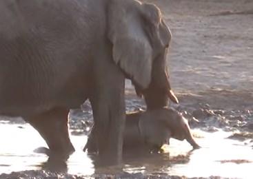もっと水遊びしたい象の赤ちゃんに苦戦するお母さん