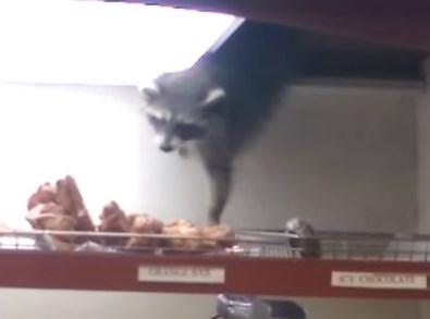 天井からドーナツを盗んだアライグマ