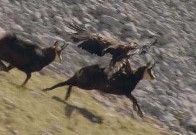 イヌワシ vs. シャモア 高画質のイヌワシの狩りの映像