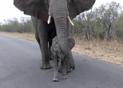 「人に近づたらダメよ」と赤ちゃんを教育するゾウの母