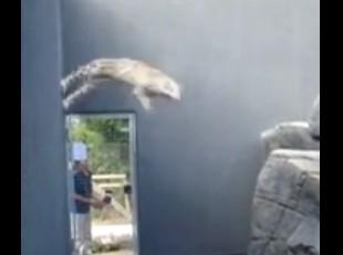 軽々と壁ジャンプを決めるユキヒョウの映像