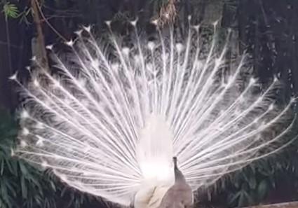 雪のように白く美しい孔雀の求愛ダンス