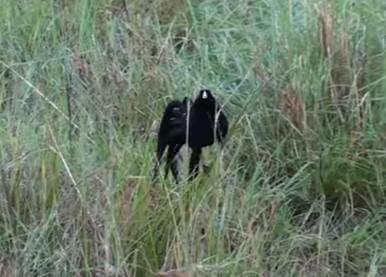 垂直ジャンプで求愛するオドリホウオウの映像