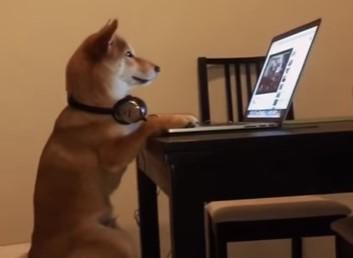 椅子に座ってYoutubeを楽しむ柴犬