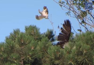 鷹がリスを襲うもビックリジャンプで逃げられる