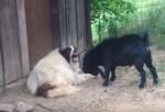 挑戦的な態度をとるヤギ、それに耐えるワンコ
