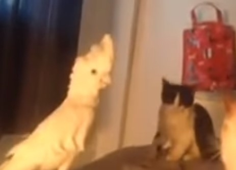 猫語をしゃべって猫の仲間に入ろうとするオウム