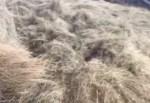 干し草に埋もれて眠る豚を目覚めさせる面白映像