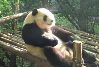 ダイエットの為?腹筋するジャイアントパンダ