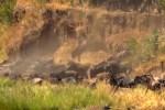 ヌーの大群が川を渡った直後にカバが出産